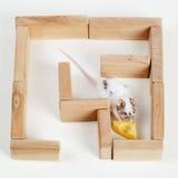 Smart mus i maze som söker efter ost Arkivbilder