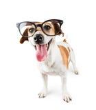 Smart nerd dog Royalty Free Stock Images