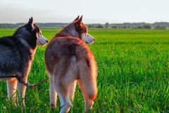 Two husky dogs in the field at sunset. Siberian huskies walk on green field, warm summer evening in the rays setting sun Rear view. Smart nice fluffy two dogs on royalty free stock images