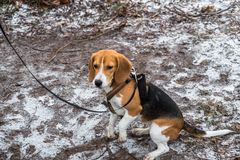 Smart and obedient Beagle puppy for a walk in the city Park at the beginning of winter. A smart beagle puppy on a walk in the city Park. Tricolor Beagle puppy is stock photos