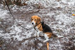 Smart and obedient Beagle puppy for a walk in the city Park at the beginning of winter. A smart beagle puppy on a walk in the city Park. Tricolor Beagle puppy is royalty free stock photography