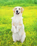 Smart obedient Golden Retriever dog executes the command Royalty Free Stock Photography