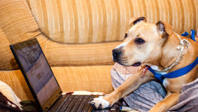 Smart pet dog using laptop computer Stock Photos