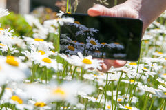 Smart phone and daisies Royalty Free Stock Images
