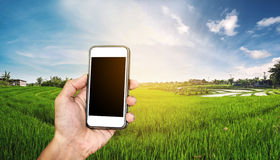 Smart phone in hand with rice field panorama in sunset, with copy space on mobile phone screen telecommunications in rural area. Smart phone in hand with rice Royalty Free Stock Photography