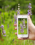 Smart phone shot lavender photo. Hands taking photo of fresh lavender Stock Photo