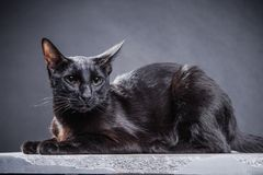 Smart playful black cat on a black background. Shot in Studio Royalty Free Stock Photos
