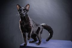 Smart playful black cat on a black background. Shot in Studio Stock Photos