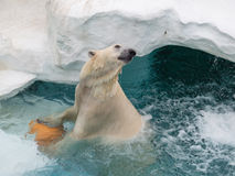 Smart polar bear Royalty Free Stock Photography