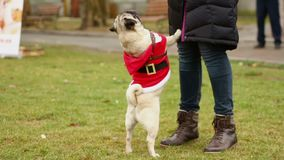 Smart pug standing on hind legs, trick dog asking master for treat, funny animal. Stock footage stock footage