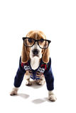Smart puppy in pullover and glasses Royalty Free Stock Photos