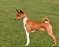 Smart red dog standing to attention. Smart red hound with curly tail standing to attention Stock Images
