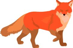 Smart red fox stepping walking and watching royalty free stock image