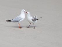 Smart seagull feeding nestling on the shore Royalty Free Stock Images