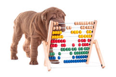 Smart sharpei puppy is learning how to count. Sharpei puppy is learning how to count, isolated on white background Stock Images