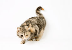 Smart spotted cat sneaks hunting. Isolated on white background Stock Photo