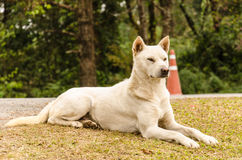Smart Thai dog Royalty Free Stock Photo