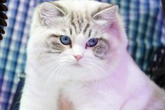 Smart white cat with tiger line pattern no it`s face and the blue eyes of it. The Smart white cat with tiger line pattern no it`s face and the blue eyes of it stock image