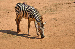 Smart zebra on arid land. Smart zebra with his shadow on arid land in zoo Royalty Free Stock Photo