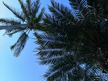 Palm trees seen from below with a perfect bluish sky royalty free stock photos