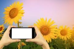 πάρτε τη φωτογραφία με το smartphone κίτρινος ηλίανθος στα γυαλιά ηλίου με Στοκ Εικόνα