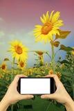πάρτε τη φωτογραφία με το smartphone κίτρινος ηλίανθος στα γυαλιά ηλίου με Στοκ Εικόνες