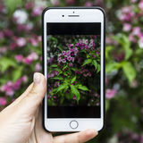 Smartphone mit einer Fotografie eines schönen Rosenbusches in der Hand auf einem Hintergrund einer Anlage Stockfoto