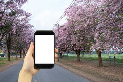 smartphone shooting concept. Pink trumpet tree Tabebuia rosea bl Royalty Free Stock Photos