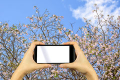 smartphone shooting concept. Pink trumpet tree Tabebuia rosea bl Stock Photography