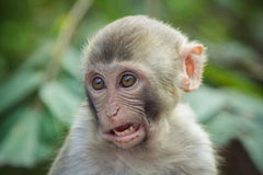 Smashed. A close up of an smashed rhesus macaque Stock Image