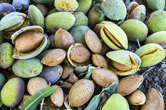 Smashing almond with stone, pouring almonds, eating almonds is good for health, natural almonds, dry almond seeds Royalty Free Stock Images