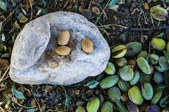 Smashing almond with stone, pouring almonds, eating almonds is good for health, natural almonds, dry almond seeds Royalty Free Stock Image