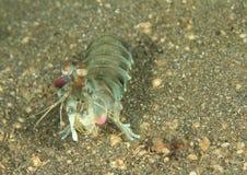Smashing mantis shrimp. Odontodactylus latirostris on sandy bottom of sea in Lembeh Strait, North Sulawesi, Indonesia stock photography