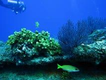 Smazzi il corallo ed il pesce barrato oro con l'operatore subacqueo fotografia stock