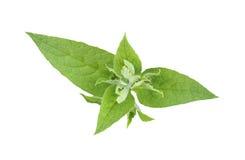 Smeerwortel Royalty-vrije Stock Foto's