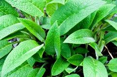 Smeerwortel in de tuin Royalty-vrije Stock Foto's