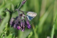 Smeerwortel met vlinder stock fotografie