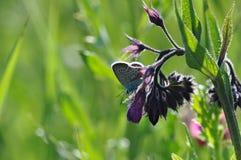 Smeerwortel met vlinder royalty-vrije stock fotografie