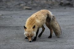 Smell it baby. Wild red fox smells something royalty free stock photo