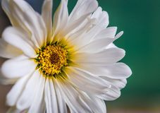 Smell the Daisies Royalty Free Stock Images