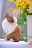 Smell the flowers-Pet rabbit Stock Photo