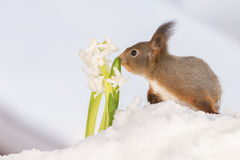 Smell the snow flower Stock Photography