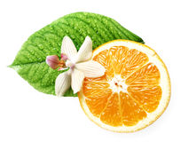 Smell of tropical fruit orange and flower isolated Royalty Free Stock Photo