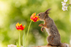 Smell the tulip. Close up of   red squirrel smelling tulip flowers Royalty Free Stock Images
