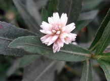 smeller y x28; suvashi& x29; flor Fotos de archivo