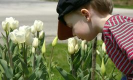 Smellin the flowers. Boy smelling the tulips Royalty Free Stock Photo