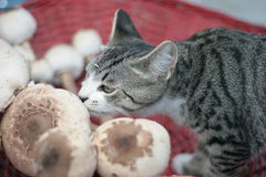 Smelling. Cat in a red basket  smells mushrooms Stock Images