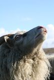 Smelling the air. Portrait of a sheep smelling the air Stock Images