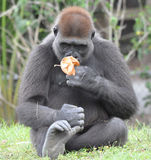 Smelling Flowers. This is a photo of a female gorilla smelling a flower stock photo