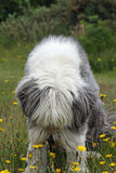 Smelling the Flowers Dog. Bearded Collie dog smelling the flowers Stock Photo